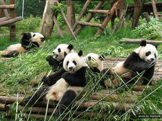 Photo of سفر به شهر چنگدو در کشور چین شهر پانداها